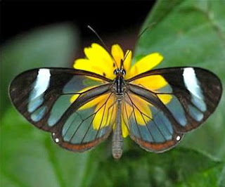 Papillon transparent